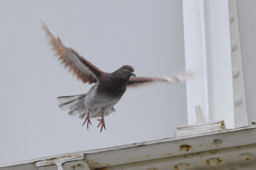 The feral pigeon