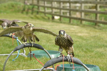 Our hawks are bred for use in bird control