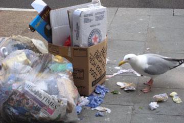 Gull scavenging in a bin