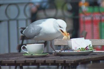 Gull on cafe table